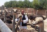 اتباع بیگانه در ایران مشغول پرورش شترمرغ!